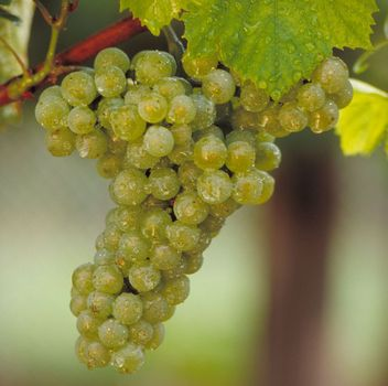 Chardonnay-Traube am Stock