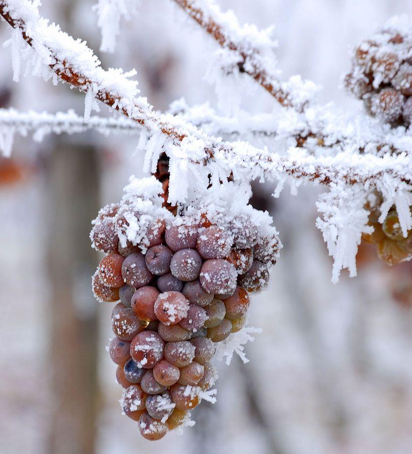 gefrorene trauben